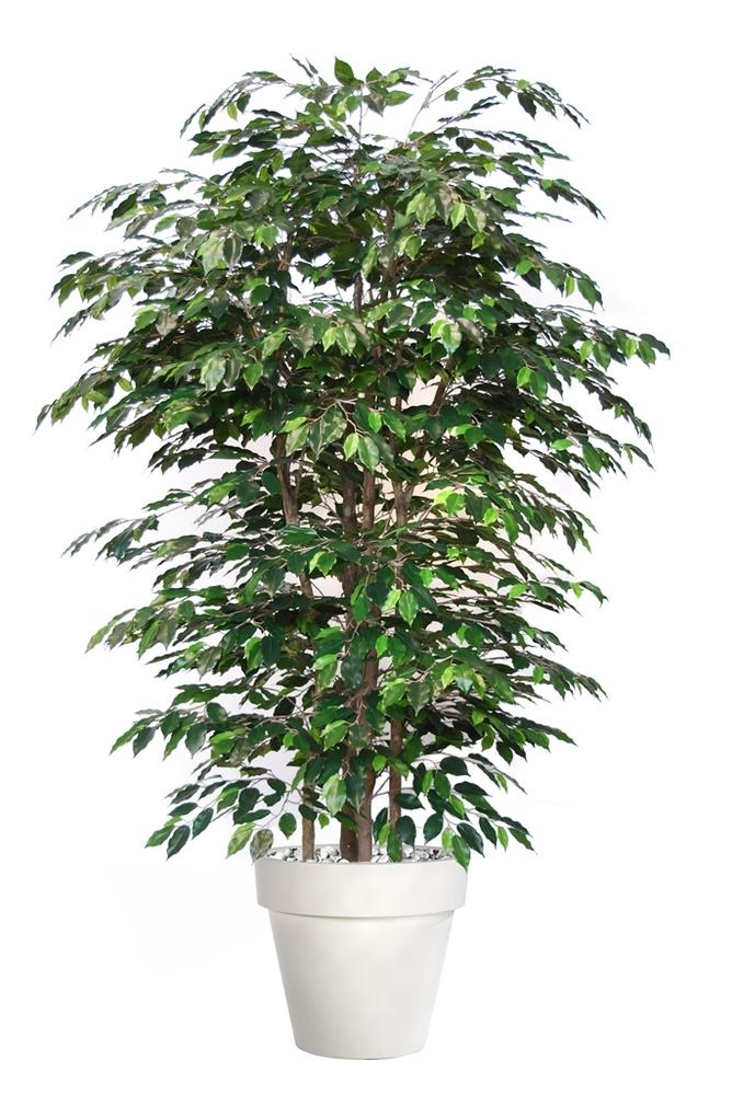 Ficus Exotica Boschetto